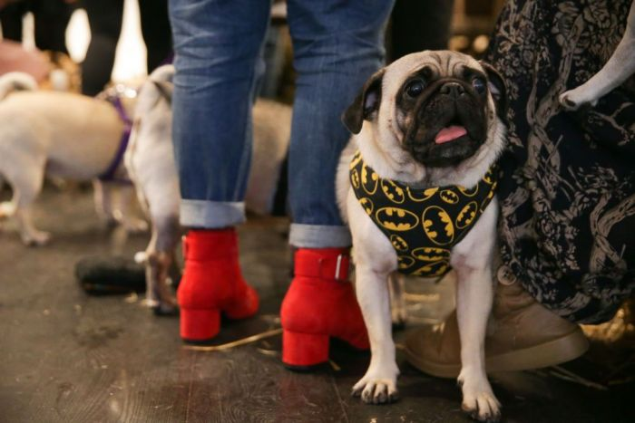 A pug dog stands along with visitors outside a pop-up Pug Cafe in Brick Lane, east London on October 27, 2017.