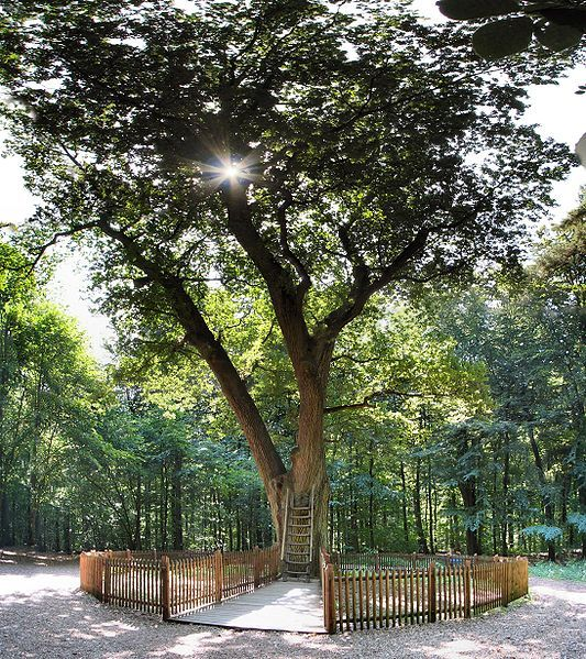 Bridegrooms oak tree near Eutin, Germany in 2006