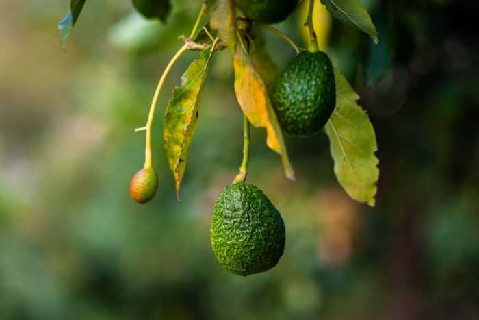 Green avocados are seen growing on a tree at a plantation on October 16, 2019 near Medellín, Colombia. Colombian avocado industry has experienced a massive growth over the past decade, due to the economic development in Colombia and the increased global demand for 'superfood' products.