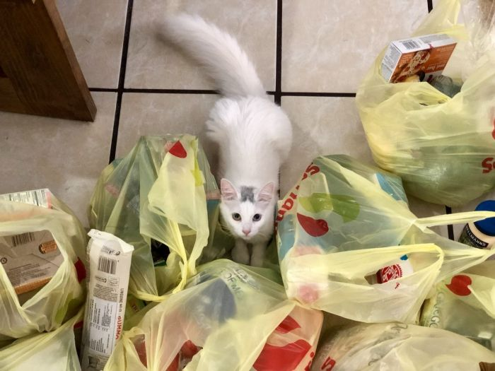 Pretty white cat with one green eye and one blue eye staring up at his mom surrounde dby food shopping bags