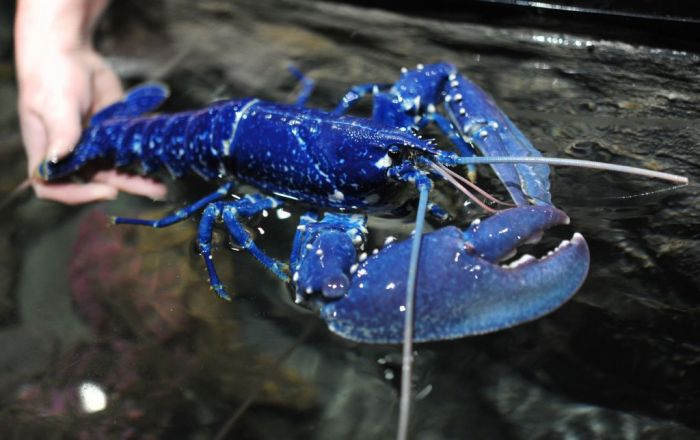 blue lobster at Oceanopolis, a sea center in Brest, western of France. Scientists say that this specimen is extremely rare : one lobster among 2 or 3 millions is of blue color