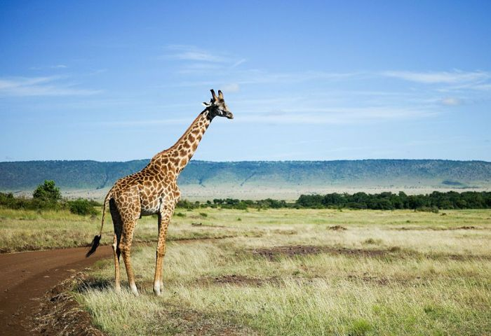A Rothschild Giraffe walks across a track inside the Lake Nakuru National Park on March 7, 2016 in Nairobi, Kenya. Situated in East Africa with a coastline on the Indian Ocean Kenya encompasses savannah, lakelands, the dramatic Great Rift Valley
