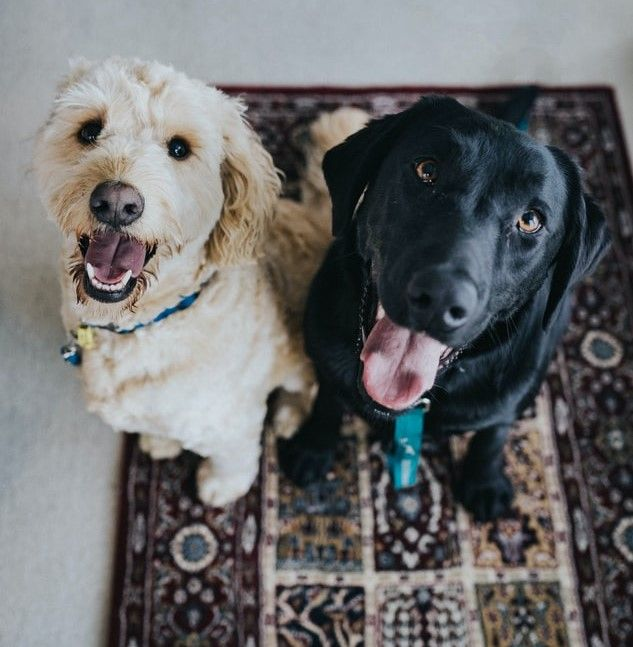 Two dogs sitting on a maroon rug