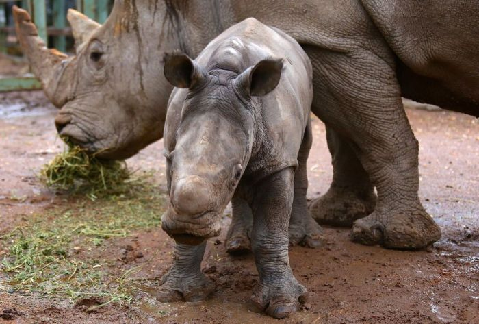 A White Rhino calf stands next to its Mother in an enclosure at Taronga Western Plains Zoo