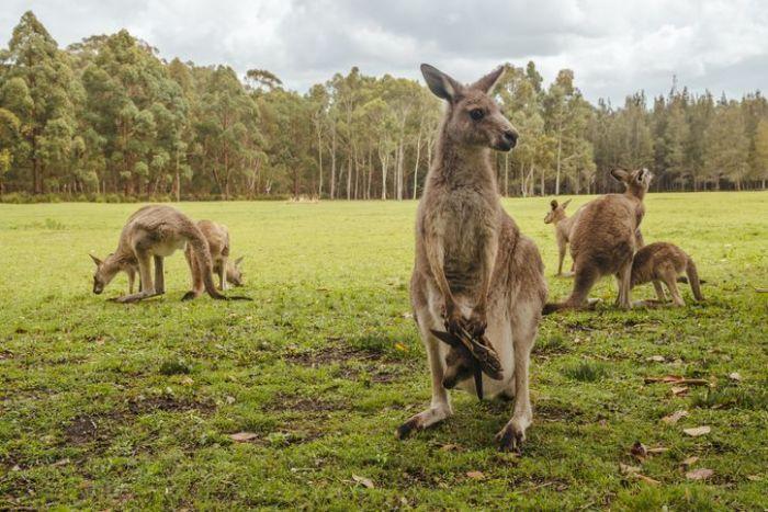 Many kangaroos on meadow